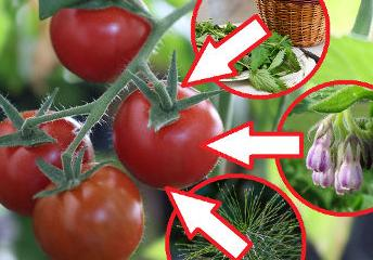 3 ekologiczne opryski napomidory. Czym pryskać pomidory aby rosły smaczne izdrowe?